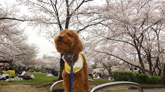 20130331綺麗だねぇ桜の花