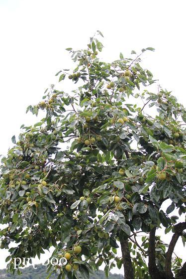 9.21柿の木