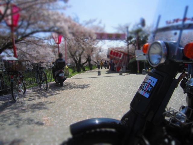 カブ桜 052