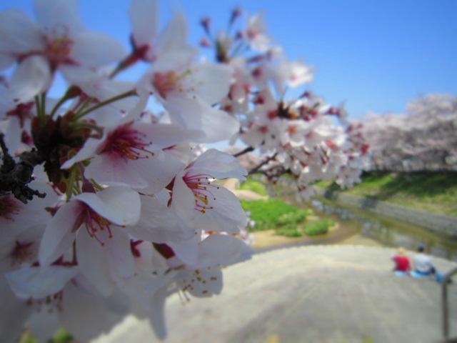 カブ桜 058