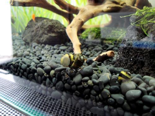 石巻貝の交尾