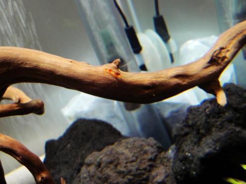 石巻貝のフンを食べてるビーシュリンプの色