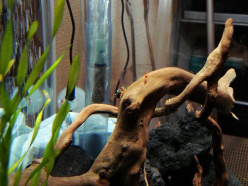 石巻貝のフンを食べるビーシュリンプ
