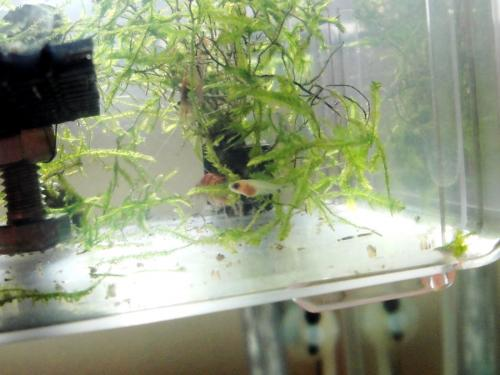 パンダプラティの稚魚