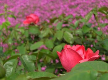 100429 薔薇と芝桜