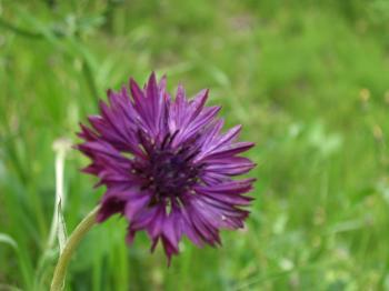 100429 矢車草紫
