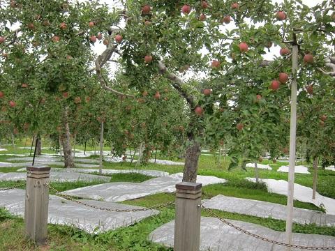 板柳りんご小