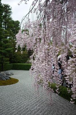 退蔵院の桜