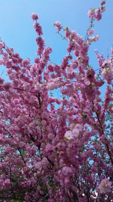 満開の千島桜2