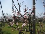 桜 1分咲きかな