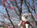 桜☆マリア