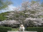桜全景 ピー