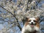 桜と笑顔のピー