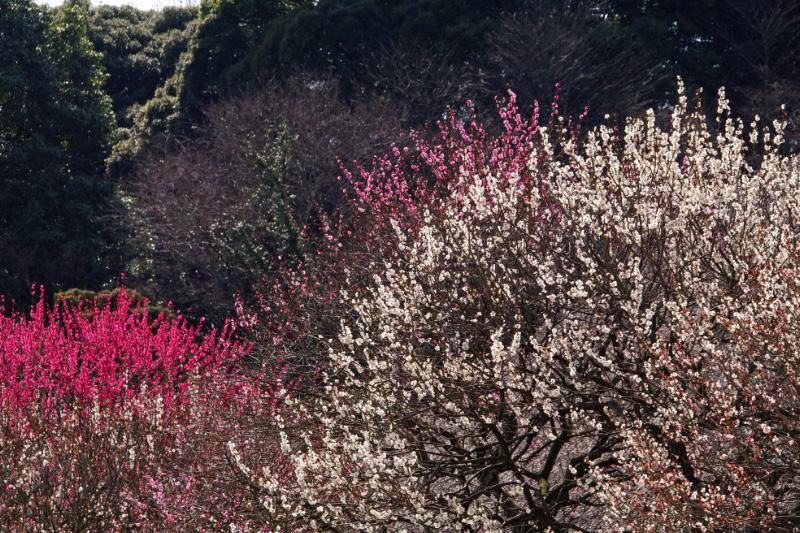輝く梅たち