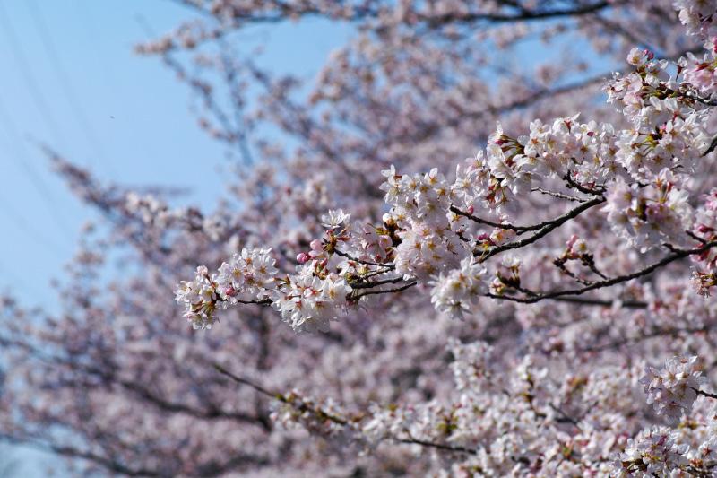 2010年桜-5