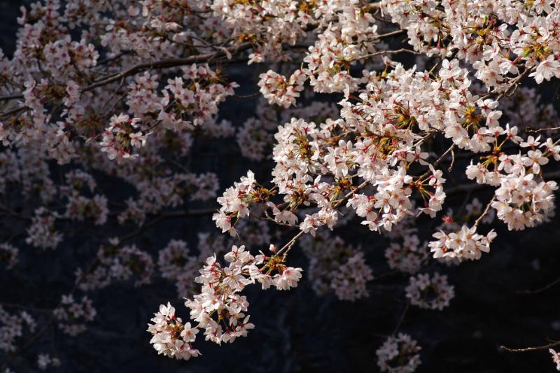 2010年桜-4