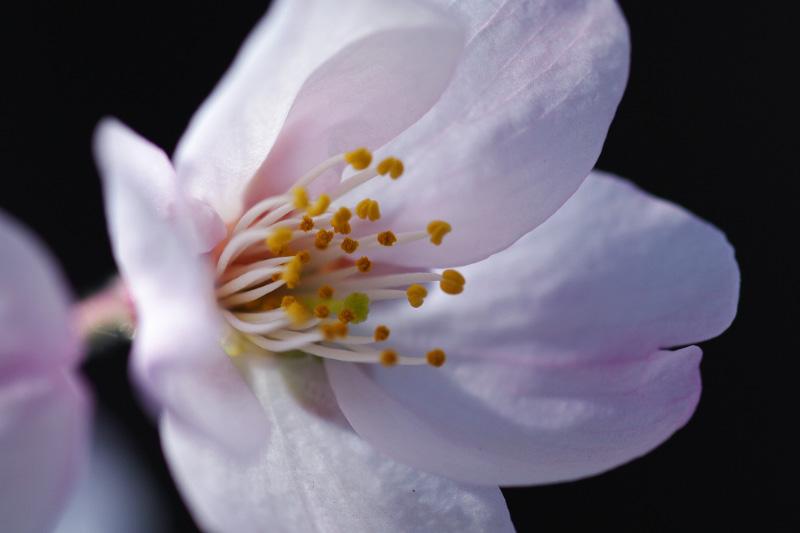 2010年桜-2
