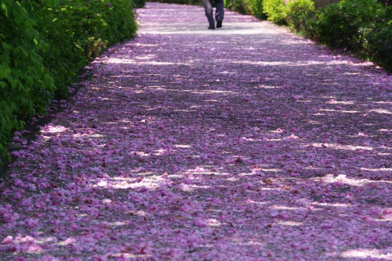 サクラの花道