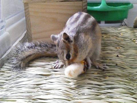 輝、インディアンコーンを食べる