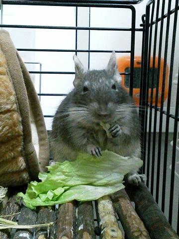 ティノくん、サニーレタスを食べる