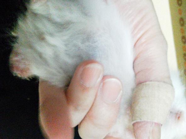 チカちゃんの腫れ上がってる左後肢