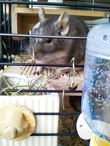 ティノくん、牧草を食べる