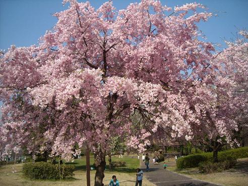 昨年度の桜前線