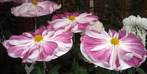 11月16日菊祭り5