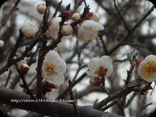 1月15日寒桜-3