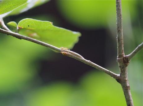 コミミズク幼虫