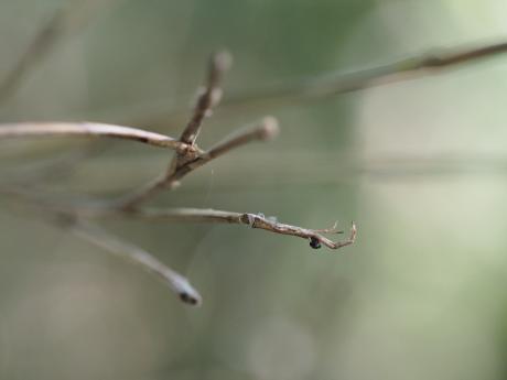 マネキグモ