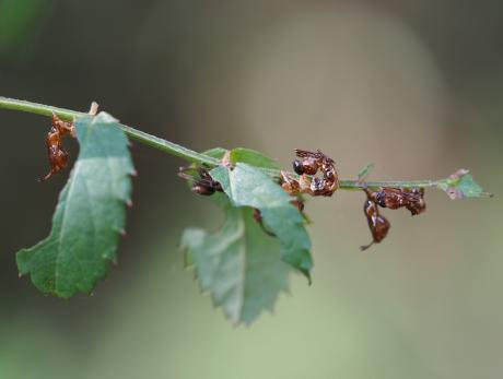 シャチホコガ幼虫か
