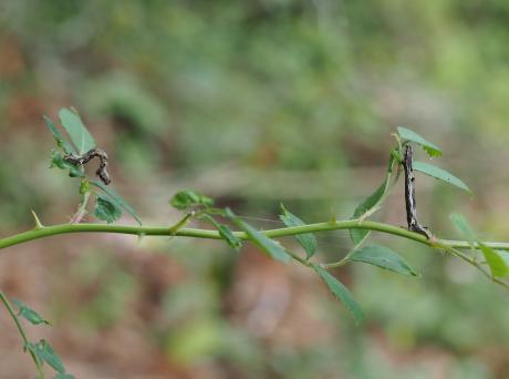 オオトビスジアオシャク幼虫