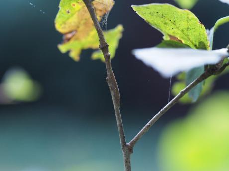 コミミズク幼虫2