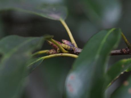 カギバアオシャク幼虫4