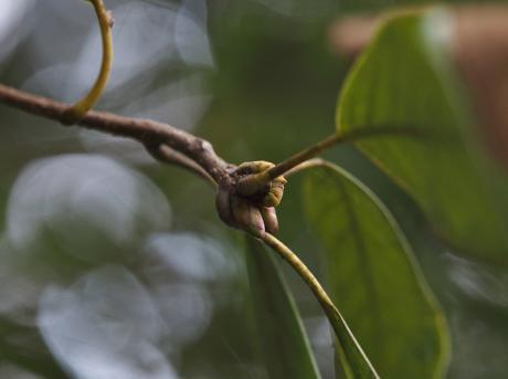 カギバアオシャク幼虫3