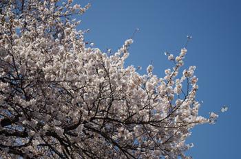 3_21桜1