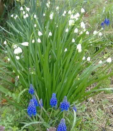 スズラン咲き水仙とムスカリ