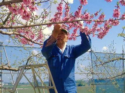 桃の花摘み2