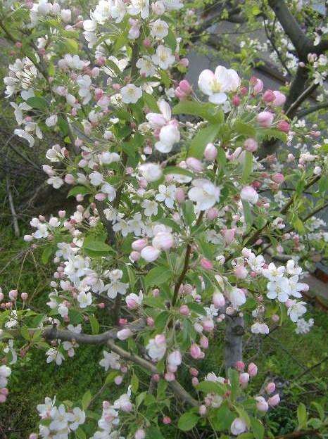 姫りんごの花