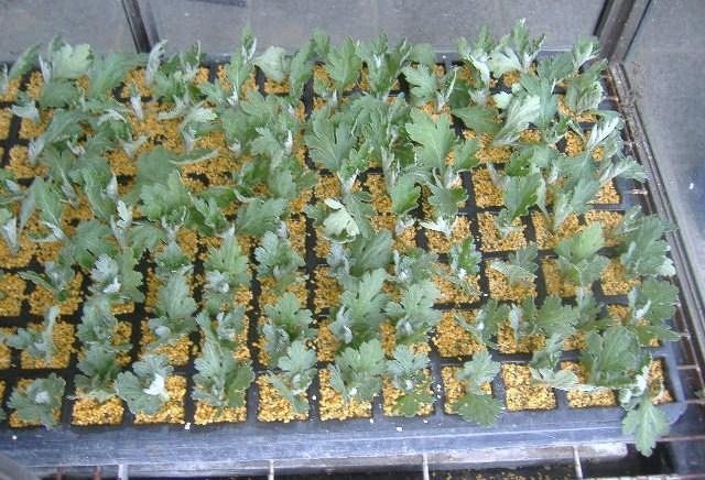 食用菊挿し芽(5・4)