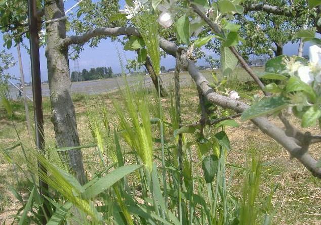 麦の穂とリンゴの花