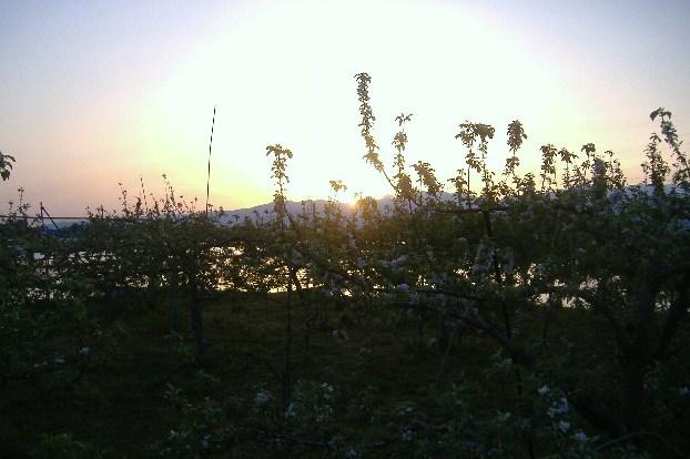 日の出のリンゴ園