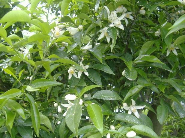 柚子の花大写し