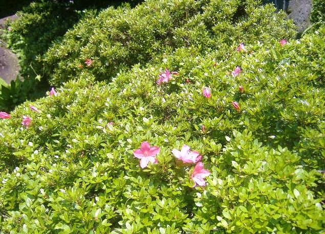 皐月の花(採用)