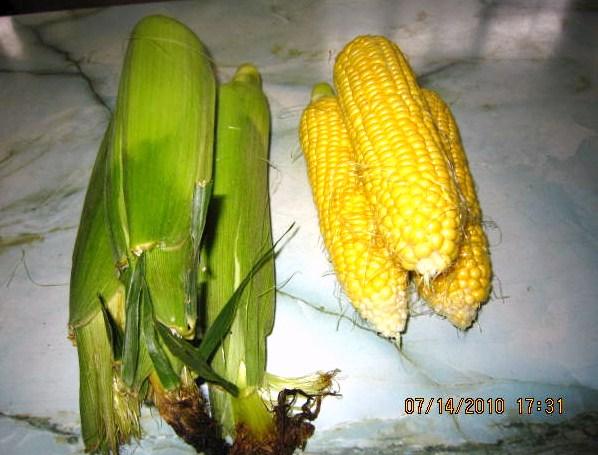 玉蜀黍収穫