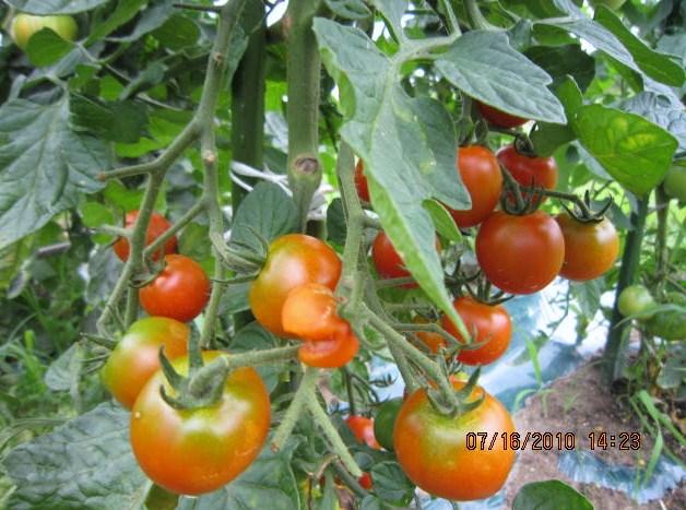 ミニトマト熟す