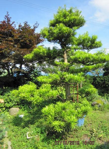 羅漢樹の緑