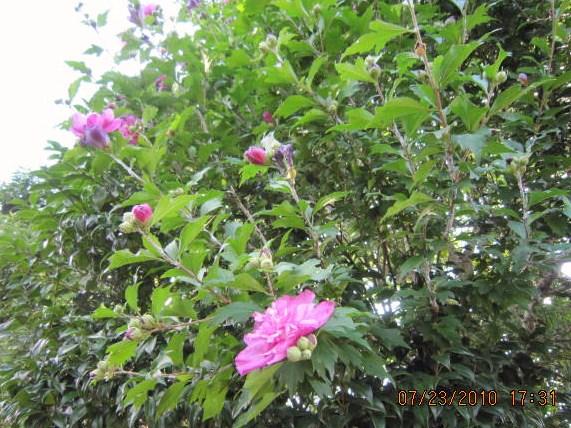 むくげ(ピンク八重咲き)