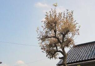 背戸の柿の木